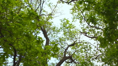 Stock Video Footage of Lush green foliage, birch trees and clear sky