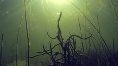 Branches of freswater sponge in the bottom of a lake with sun beams Stock Footage