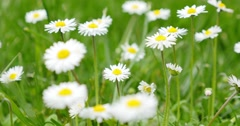 Chamomile flowers on a meadow swinging in the wind - stock footage