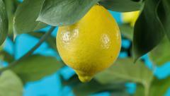Ripe lemon on a branch Stock Footage