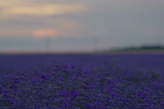 Beautiful time lapse sunset over a lavender field. Stock Footage