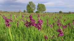 Landscape with Meadows and Orchids - stock footage