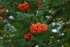Rowan berries Stock Photos