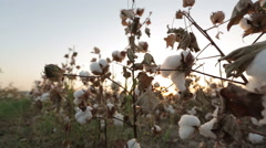 Dolly shot of ripe cotton top grade before harvesting Stock Footage