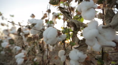 Stock Video Footage of Dolly shot of ripe cotton top grade before harvesting