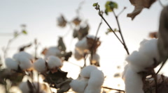 Dolly shot of ripe cotton close-up on sunset glare Stock Footage