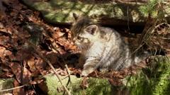 4K footage of a Wildcat (Felis silvestris) kitten Stock Footage