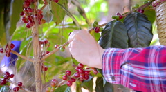 Coffee farmer picking ripe coffee cherries fruit Stock Footage