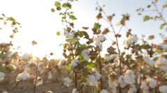Dolly shot of ripe bushes of cotton at sunset the glare of the sun Stock Footage