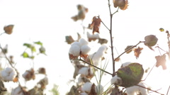 The farmer touches the hands checks the ripe cotton bolls in field, close-up Stock Footage