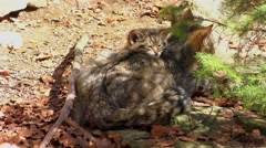 4K footage of a Wildcat (Felis silvestris) kitten with her mother Stock Footage