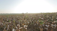 Stock Video Footage of Pan across a vast cultivated field of growing cotton the is ready to be