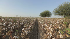 Pan across a vast cultivated field of growing cotton the is ready to be Stock Footage