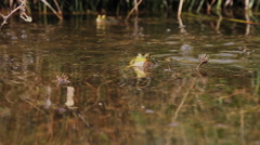 Ceremony Mating frogs in a pond Stock Footage