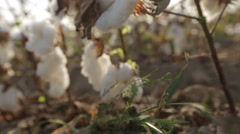 Dolly shot of defocus bushes of ripe cotton top grade on the field Stock Footage