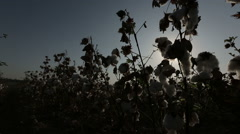 Dolly shot silhouette of ripe cotton top grade before harvesting Stock Footage