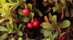 Bearberry Plant with Fruits Red Stock Footage