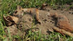 The corpse of a dead squirrel lying on the grass in the forest, Dolly shot Stock Footage