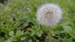 Dandelion Seed Head on wind, static take in 4K UHD Stock Footage