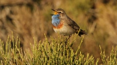 Male of bluethroat marking his territory in mating season. Stock Footage