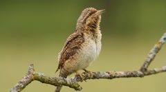 Eurasian wryneck, singing and marking his territory in mating season. Stock Footage