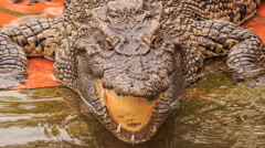 closeup terrible crocodile's head with open jaw in park - stock footage