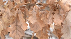 Old dry brown foliage of common English oak tree blown by wind - stock footage