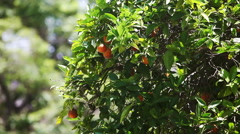Orange tree with fruits in city of Los Angeles, Usa - stock footage