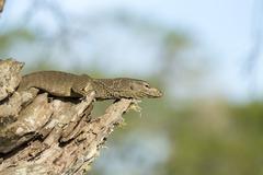 Monitor Lizard in a Tree. - stock photo