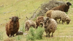 Herd of bighorn sheep grazing in Spey creek ranch Stock Footage