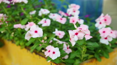 Pink phloxes on the wind. - stock footage