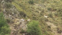 Herd of goat grazing in Spey creek ranch Stock Footage