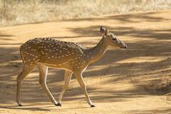 Sri Lankan Axis Deer Stock Photos