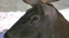 Close up of an young deer head Stock Footage