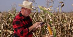 Farmer Check Maize Plants Growth Using Tablet Looking Corn Harvest Food Industry Stock Footage