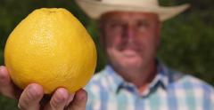 Farmer Man Checking Grapefruit Show Close Up Camera Exotic Tropical Fruit Plant Stock Footage
