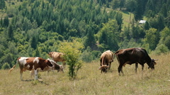 Cows grazing on a green pasture - medium shot - stock footage