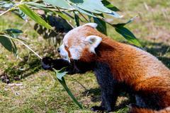 Red Panda. - stock photo
