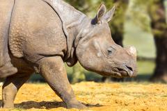 Rhinoceros: Head Shot. - stock photo