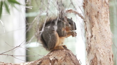 Fox squirrel eating seeds on tree Stock Footage