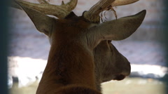 Close up of an young deer from the back of his head Stock Footage
