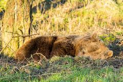 Sleeping Brown Bear (Ursus Arctos) - stock photo
