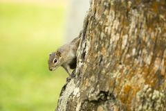 Cute and Inquisitive Three Striped Palm Squirrel - stock photo