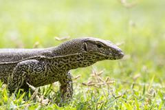 Monitor Lizard (Sril Lanka) Stock Photos