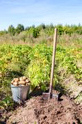 First harvest of organically grown new potatoes in sunny day Stock Photos