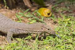 Monitor Lizard (Sril Lanka) - stock photo