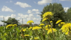Dandelion Flowers On The Blurred Background - stock footage