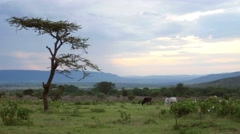 Cattle grazes at sunset on the outskirts of a Maasai village in rural Kenya. - stock footage