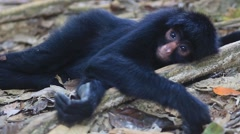 A Spleepy Black Spider Monkey Stock Footage