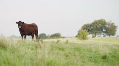 4K Cow standing and looking towards camera, shot on Red Epic Dragon Stock Footage